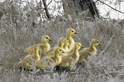 Photograph - Goslings Posterized by Mark J Seefeldt