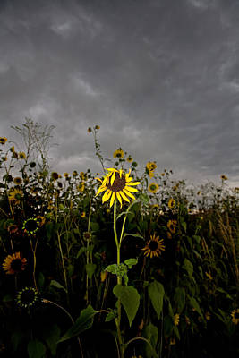 Sunflowers Royalty-Free and Rights-Managed Images - Goth Sunflower by Peter Tellone