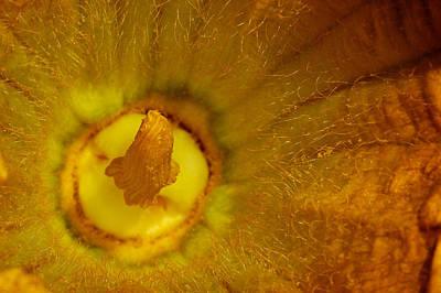 Gourd's Flower Art Print