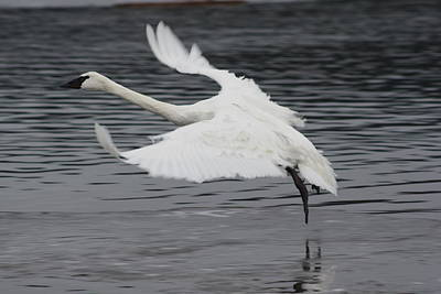 Photograph - Graceful Landing by Cathie Douglas