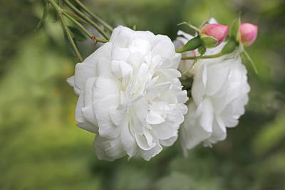 Photograph - Graceful White Rose And Pink Rosebuds by Jennie Marie Schell