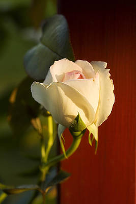 Photograph - Gracefull White Rose by Trudy Wilkerson