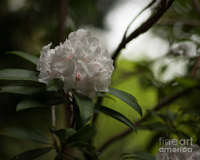 Rhodie Photograph - Gracefully Lit by Mike Reid