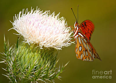 Gulf Fritillary Photograph - Grand Butterfly On Thistle by Carol Groenen