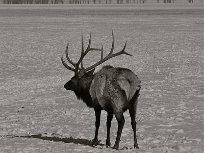 Photograph - Grand Dad Elk by Eric Tressler