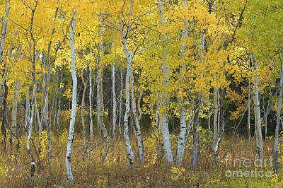 Photograph - Grand Teton Aspens by Sandra Bronstein