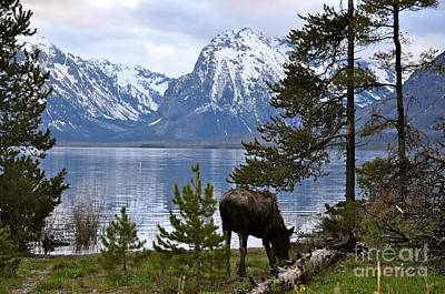 Photograph - Grand Teton Moose by Johanne Peale