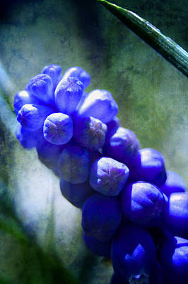 Photograph - Grape Hyacinth by Ellen Heaverlo