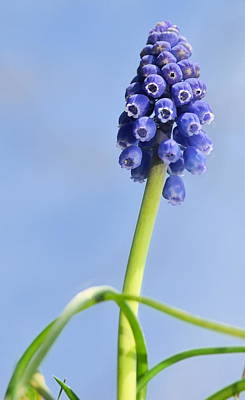 Photograph - Grape Hyacinth by JD Grimes