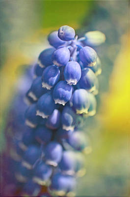 Grape Hyacinths In Spring Art Print by Trina Dopp Photography