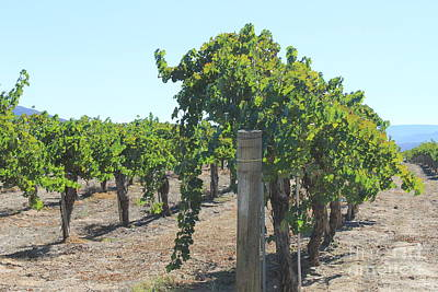 Photograph - Grape Vines by Pamela Walrath