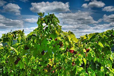 Grape Vines Up Close Art Print by Steven Ainsworth