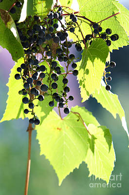 Grapes And Leaves Art Print by Michal Boubin