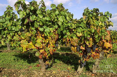 Grapes Growing On Vine Art Print by Bernard Jaubert