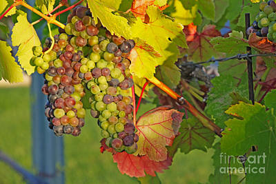 Photograph - Grapes In The Sun by Paul Topp