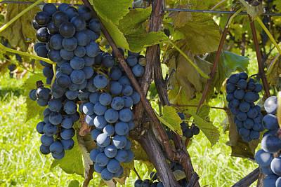 Grapes On A Vine Sutton Junction Quebec Art Print by David Chapman