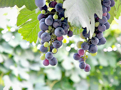 Grapes On The Vine Art Print by Glennis Siverson