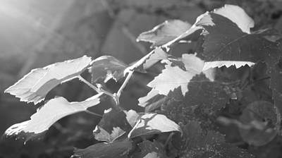 Photograph - Grapevine In Morning Light by Kume Bryant