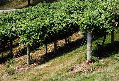 Grape Leaves Photograph - Grapevines by Marsha Heiken