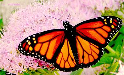 Photograph - Graphic Monarch by Chris Berry