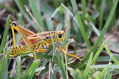 Photograph - Grass Hopper by Jeanne Andrews