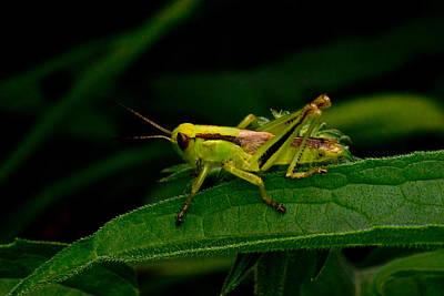 Grasshopper 1 Art Print by Douglas Barnett