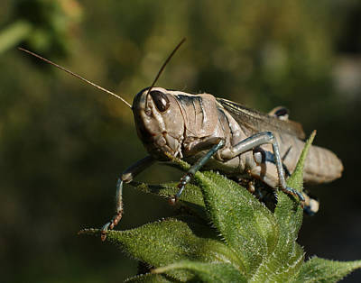Grasshopper Photograph - Grasshopper 2 by Ernie Echols