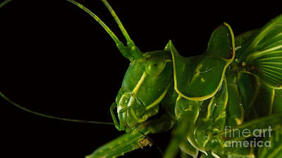 Photograph - Grasshopper Cleaning Antenna by Mareko Marciniak