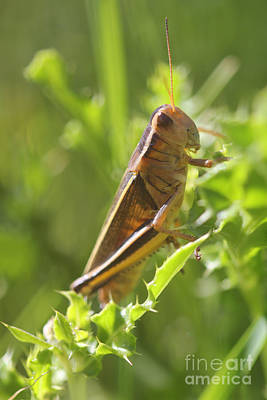 Photograph - Grasshopper by Donna Munro