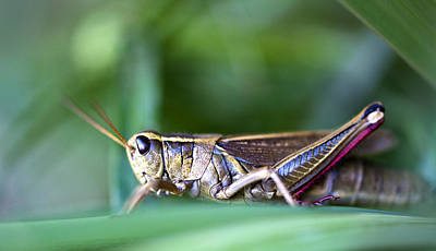 Photograph - Grasshopper by Glenn Gordon