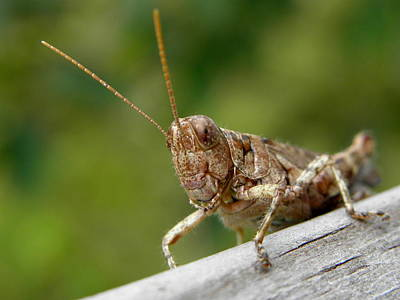 Photograph - Grasshopper by Griffin Harris