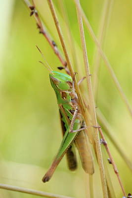 Photograph - Grasshopper In Green by JD Grimes