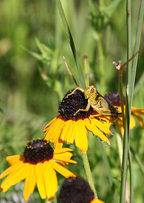 Photograph - Grasshopper On Black-eyed Susan 1 by George Jones