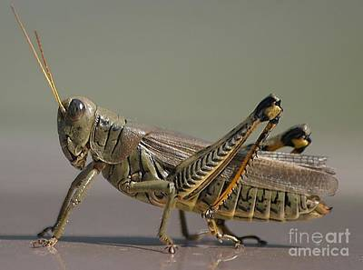 Photograph - Grasshopper Profile by Living Color Photography Lorraine Lynch