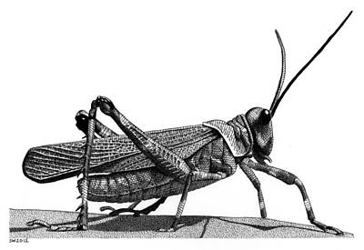 Drawing - Grasshopper by Scott Woyak
