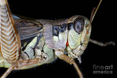Grasshopper With Parasitic Mite Art Print by Ted Kinsman