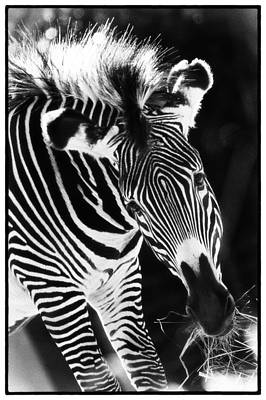 Photograph - Gravy Zebra by Perla Copernik