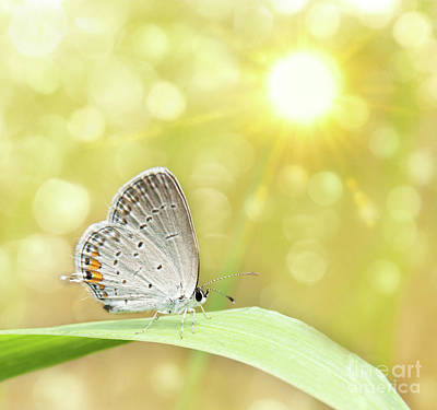 Gray Hairstreak Butterfly  Art Print
