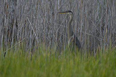Gray Heron Photograph - Gray Heron Hunting In Marsh Reeds by Paul Sutherland