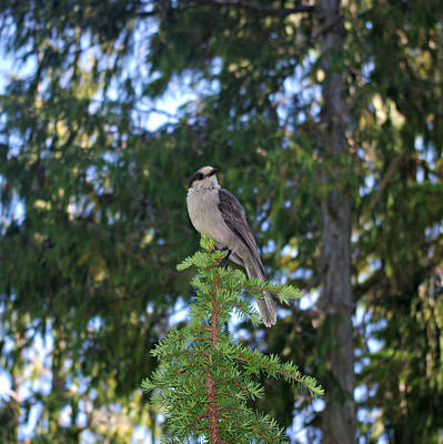 Photograph - Gray Jay Bird by Marilyn Wilson