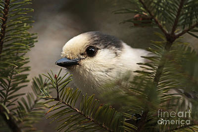 Gray Jay Playing Peek A Boo Art Print by Inspired Nature Photography Fine Art Photography