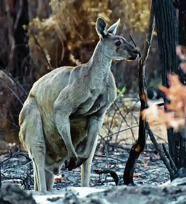 Photograph - Gray Kangaroo by Harry Strharsky