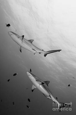 Photograph - Gray Reef Sharks. Papua New Guinea by Steve Jones