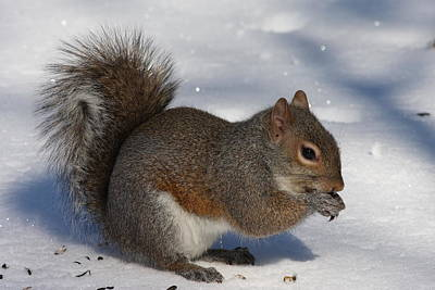 Photograph - Gray Squirrel On Snow by Daniel Reed