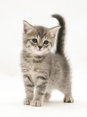 Gray Tabby Photograph - Gray Tabby British Shorthair Kitten by Jane Burton