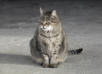 Gray Tabby Photograph - Gray Tabby Cat Sitting On Concrete Floor by Diane Miller