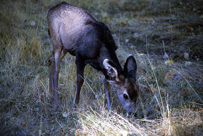 Photograph - Grazing Fawn by Gary Brandes