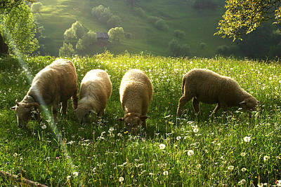 Photograph - Grazing Sheep by Emanuel Tanjala