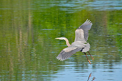 Photograph - Great Blue Heron - Where To Now by Mary McAvoy