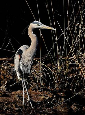 Photograph - Great Blue Heron 1 by Kirk Stanley
